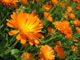 Календула (Calendula officinalis)